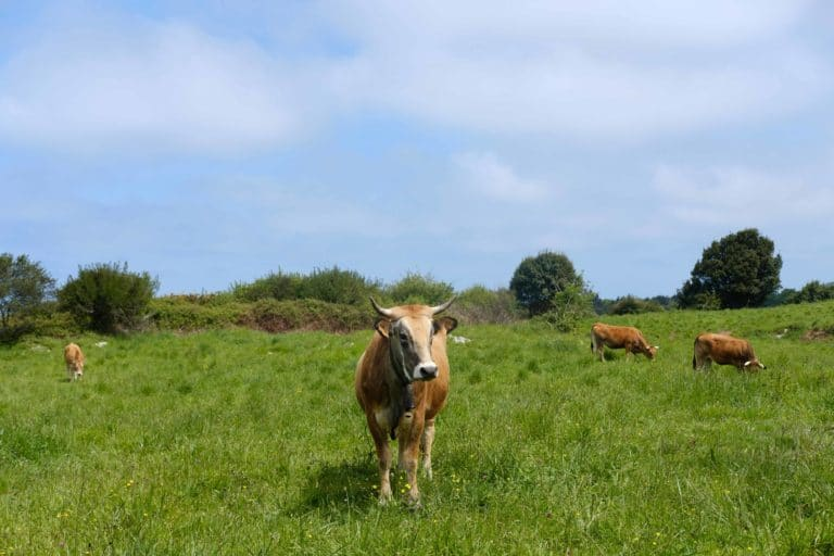 A cow and the meaning of life